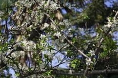Árbol de ciruelo en la floración con una abeja que chupa el néctar Imagen de archivo