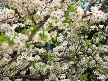 árbol de ciruelo Flor-cargado de debajo fotos de archivo libres de regalías
