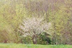 Árbol de ciruelo floreciente Fotografía de archivo libre de regalías