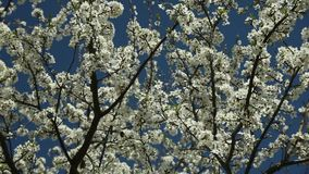 Árbol de ciruelo floreciente con las flores blancas en un día soleado contra un cielo azul metrajes
