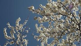 Árbol de ciruelo floreciente con las flores blancas en un día soleado contra un cielo azul almacen de video