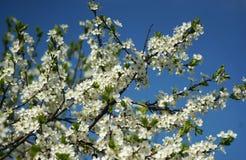 Árbol de ciruelo floreciente contra el cielo azul Fotografía de archivo