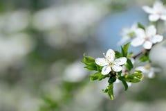 Árbol de ciruelo floreciente del resorte hermoso Fotografía de archivo