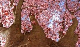 Árbol de ciruelo japonés floreciente, abajo a la visión superior foto de archivo