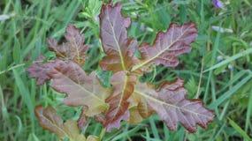 Árbol de cobre del quercus de Duir del roble en Forest Floor foto de archivo
