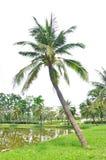 Árbol de coco Fotos de archivo libres de regalías
