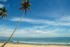 Árbol de coco Fotografía de archivo