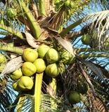 Árbol de coco Imágenes de archivo libres de regalías