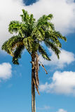 Árbol de coco Imagen de archivo libre de regalías