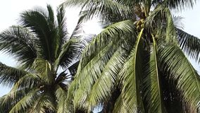 Árbol de coco almacen de video