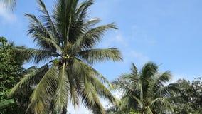 Árbol de coco metrajes