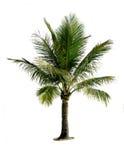 Árbol de coco aislado Fotos de archivo