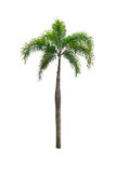 Árbol de coco aislado en el fondo blanco imagenes de archivo