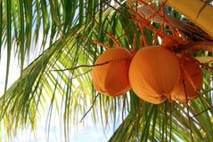 Árbol de coco anaranjado Fotos de archivo libres de regalías