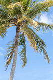 Árbol de coco bajo el cielo azul Imágenes de archivo libres de regalías