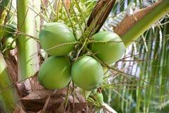 Árbol de coco con el coco fotografía de archivo libre de regalías