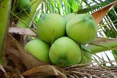 Árbol de coco con el coco imágenes de archivo libres de regalías