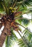 Árbol de coco con las frutas, hojas Imágenes de archivo libres de regalías