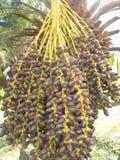Árbol de coco con las frutas fotos de archivo libres de regalías