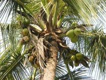 Árbol de coco con los cocos verdes Fotografía de archivo