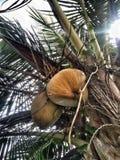 Árbol de coco con una hoja y un fondo nublado fotografía de archivo