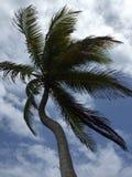 Árbol de coco curvado Fotografía de archivo
