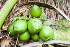 Árbol de coco dulce Fotos de archivo