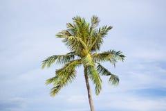 Árbol de coco en cielo azul Imagen de archivo libre de regalías