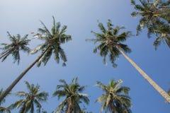 Árbol de coco en el cielo azul Fotografía de archivo