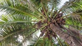 Árbol de coco fresco Imagenes de archivo