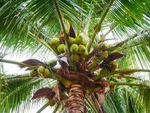 Árbol de coco hermoso Imagen de archivo
