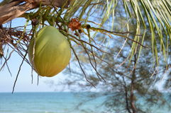Árbol de coco natural Fotos de archivo libres de regalías