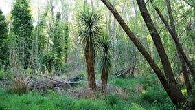 Árbol de col de Nueva Zelanda Imágenes de archivo libres de regalías