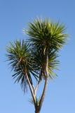 Árbol de col de Nueva Zelandia Foto de archivo