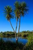 Árbol de col de Nueva Zelanda que crece en humedal Foto de archivo
