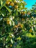 Árbol de color caqui con las frutas grandes fotografía de archivo