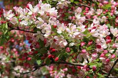 Árbol de cornejo en la floración imágenes de archivo libres de regalías