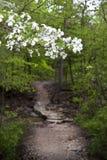 Árbol de cornejo a lo largo de un rastro enselvado de Arkansas Foto de archivo libre de regalías
