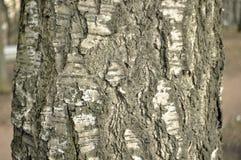 Árbol de corteza de abedul Foto de archivo libre de regalías