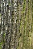 Árbol de corteza texturizado liquen del musgo de la corteza Fotografía de archivo