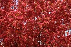 Árbol de Crabapple en la floración Fotografía de archivo