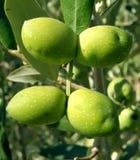 Árbol de cuatro aceitunas verdes Foto de archivo libre de regalías