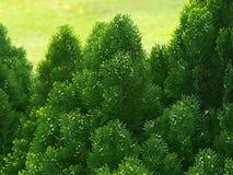 Árbol de Cypress Foto de archivo libre de regalías