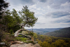 Árbol de Cypress Fotos de archivo