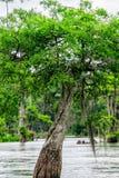 Árbol de Cypress calvo Foto de archivo
