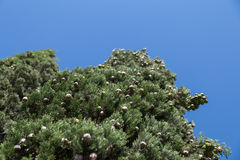 Árbol de Cypress con los conos redondos Foto de archivo libre de regalías