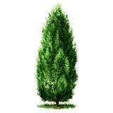 Árbol de Cypress hermoso verde, ejemplo de la acuarela en blanco ilustración del vector