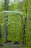 Árbol de Dogwood en el parque nacional de Smokies Imagen de archivo