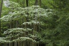 Árbol de Dogwood, montañas de Smokey Imágenes de archivo libres de regalías