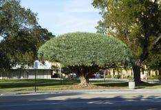 Árbol de dragón extremadamente grande que crece en un ambiente urbano Imagen de archivo libre de regalías